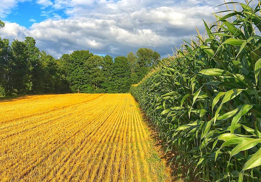 Les cultures commerciales céréalières, telles que le maïs-grain et le maïs fourrager, répondent particulièrement bien à des apports réguliers de matières résiduelles organiques fertilisantes ou chaulantes.
