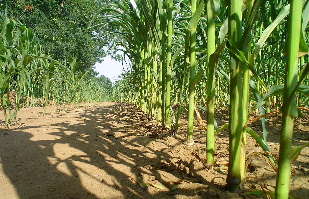 Épandage de biosolides municipaux dans champ de maïs comme solution environnementale